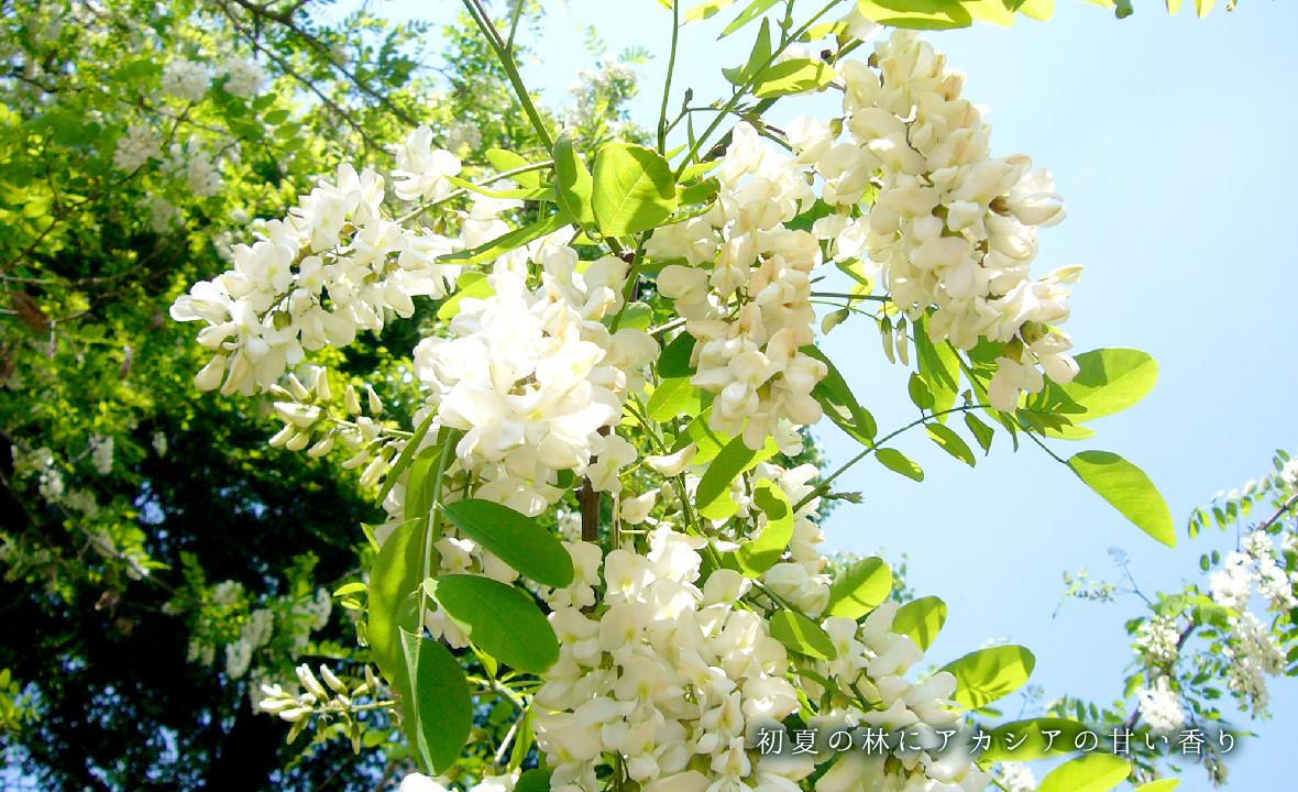 初夏の林にアカシアの甘い香り