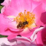 薔薇にミツバチ