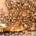 巣箱前の蜂