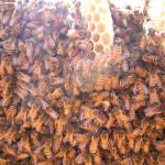 蜂(アップ)